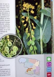 Isatis platiloba. del libro Plantas Protegidas de Zamora