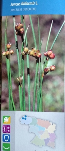 Juncus filimormis. del libro Plantas Protegidas de Zamora